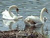 The swan family, leaving the nest forever, leaving behind the cygnet that is not to be!!!<br /> The Celery Farm<br /> Allendale, New Jersey, 2006
