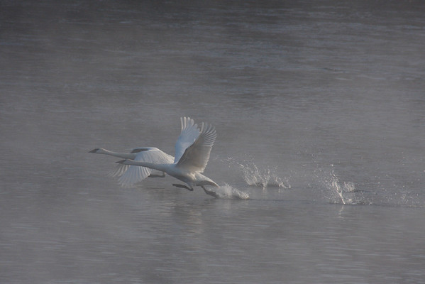 Ttumpeter Swan Take Off (Cygnus buccinator)