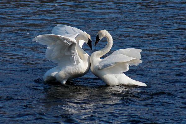 Trumpeter Swan Pair #9 (Cygnus buccinator)