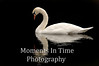 Cape Cod swan