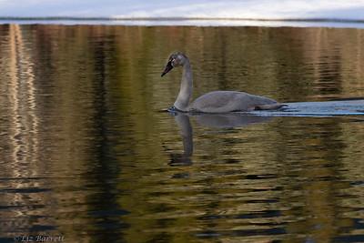 0U2A0769_Trumpeter swans_Juv