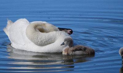 Mute Swan and Chick