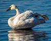 Sumo Swan