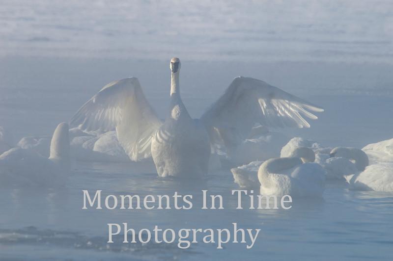 Swan, trumpeter (Cygnus buccinators)
