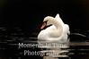 Swan in Sandwich