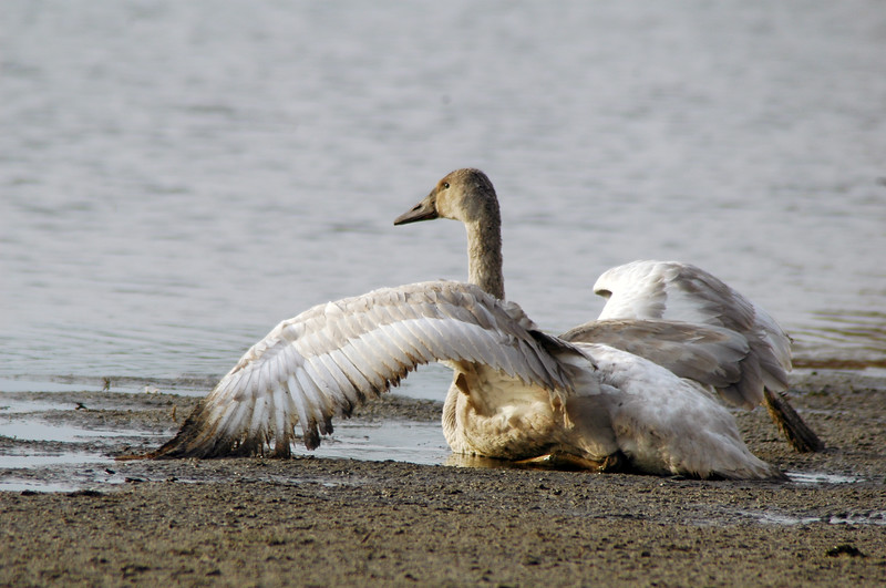 Injured trumpeter swan that can't fly<br /> Professional Wildlife Photography by Christina Craft of the Nature Stock Photography Library