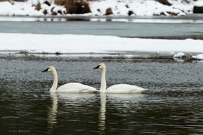 202A0232_Trumpeter_Swans