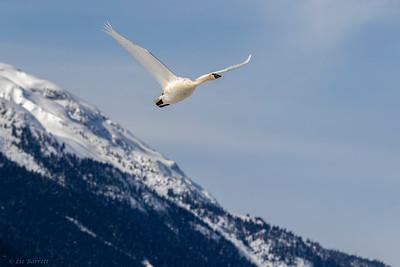 0U2A0517_Trumpeter swan