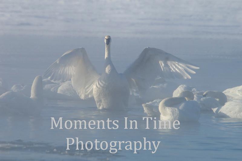 Swan full wing