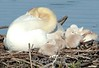 The soft side of nature<br /> Mute swans:  mother with cygnets<br /> The Celery Farm, Allendale, New Jersey, 2006