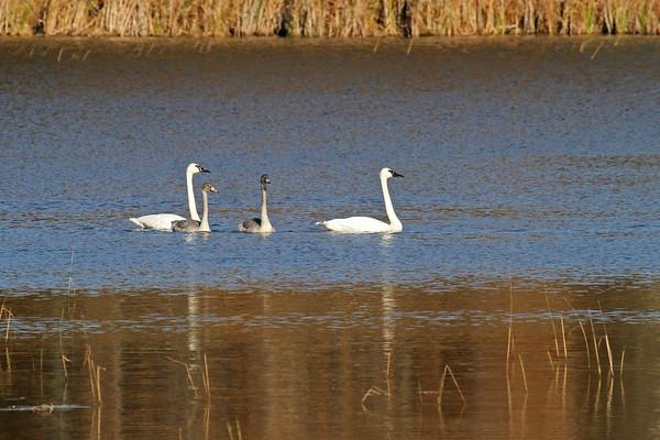 Trumpeter Swan Family #2 (Cygnus buccinator)