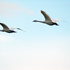 Two trumpeter swans in flight during the swan migration<br /> Professional Wildlife Photography by Christina Craft of the Nature Stock Photography Library