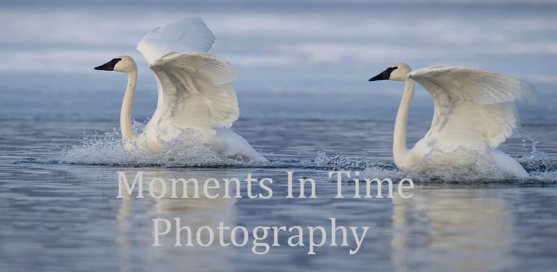 Swan pair swimming
