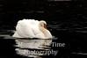 Fluffed up swan