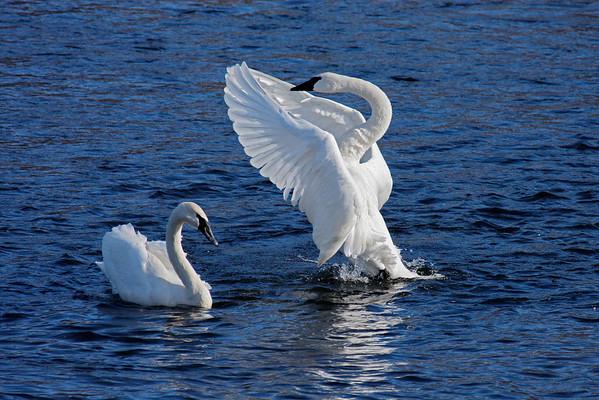 Trumpeter Swan Pair #4 (Cygnus buccinator)