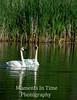 Swan trumpeter (Cygnus buccinators)