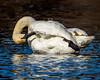 Tumpter Swan