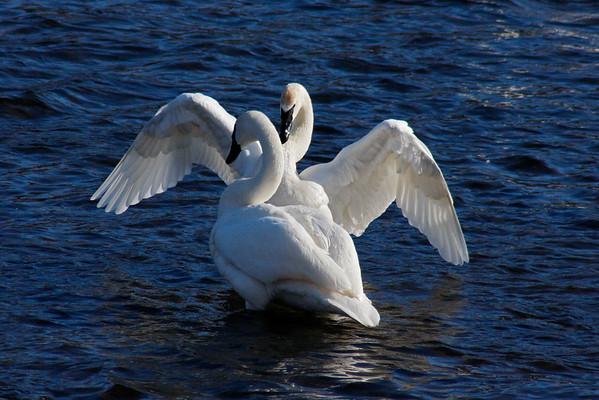 Trumpeter Swan Pair #5 (Cygnus buccinator)