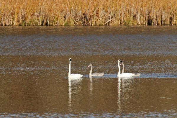 Trumpeter Swan Family #1 (Cygnus buccinator)