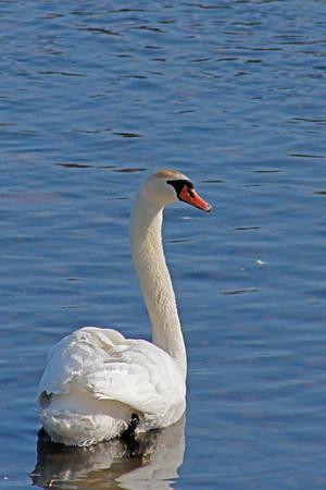 Mute Swan #2 (Cygnus olor)