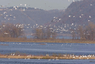 Tundra Swans, Brownsville, MN