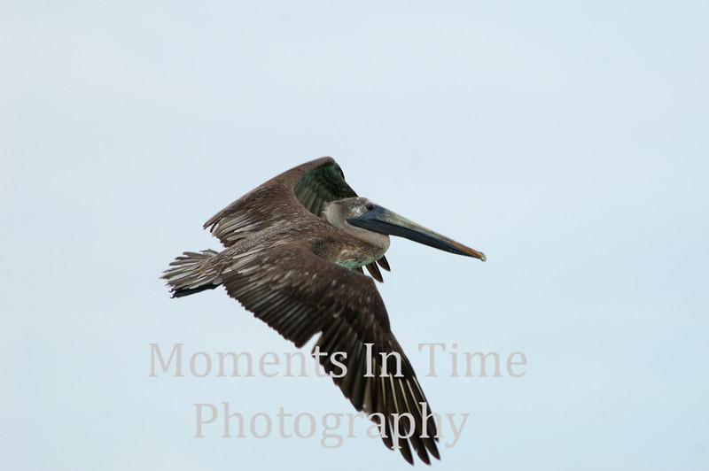 Pelican brown