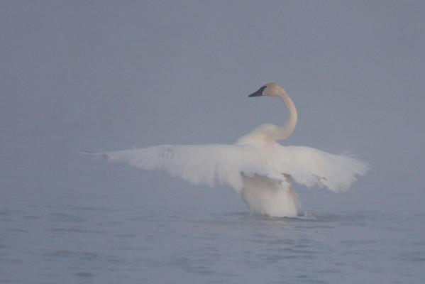 Trumpeter Swan In Mist (Cygnus buccinator)
