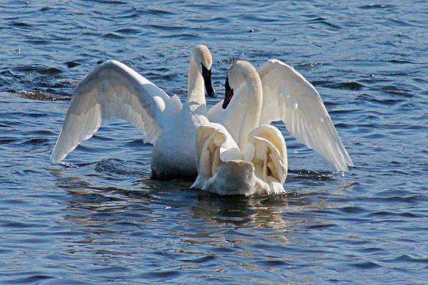Trumpeter Swan Pair #10 (Cygnus buccinator)