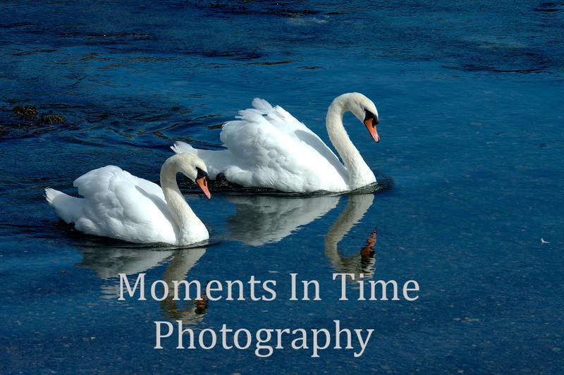 Swan pair in snyc