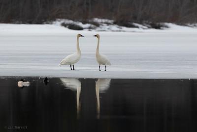 0U2A2646_Trumpeter Swans