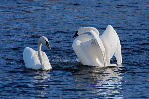 Trumpeter Swan Pair #3 (Cygnus buccinator)