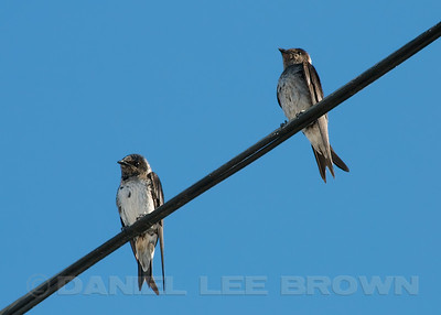 Female and second year male (on left) Purple Martins, Sacramento co, CA, 7-22-10.