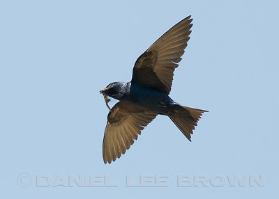 Male Purple Martin with dragonfly (Spot-winged Glider). Sacramento co, CA, 7-21-10.