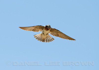 Cliff Swallow, Merced co, CA, 6-6-10. Photographed during spring nest building.