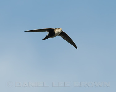 White-throated Swift, Nimbus Fish Hatchery, Sacramento Co, CA, 10-12-11. Heavily cropped image.