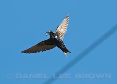 Male Purple Martin with dragonfly (Common Green Darner). Sacramento co, CA, 7-21-10.