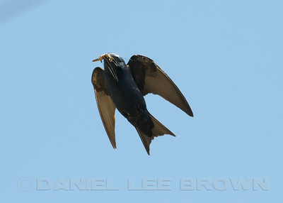 Male Purple Martin with dragonfly (Spot-winged Glider) . Sacramento co, CA, 7-21-10.