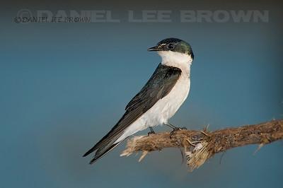 Mangrove Swallow. Costa Rica. 4-16-09.