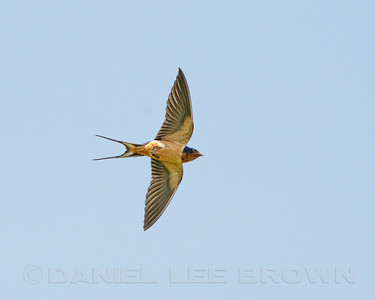 Barn Swallow, Drundy Co, IL, 5-7-13. Cropped image.