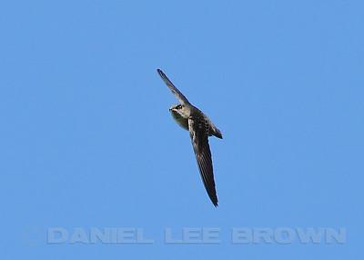 Vaux's Swift, Andrew Molera co, CA, 5-28-10. Cropped image.