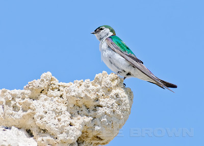 Violet-green Swallow, South Tufa Reserve, Mono County, CA, 7-27-12. Cropped image.