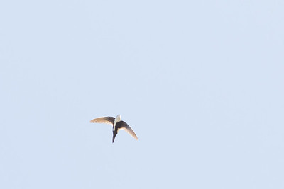 White-throated Swift - Big Sur, CA, USA
