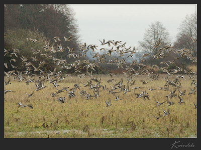 Something stirs up a field of Pintails and Wigeons.