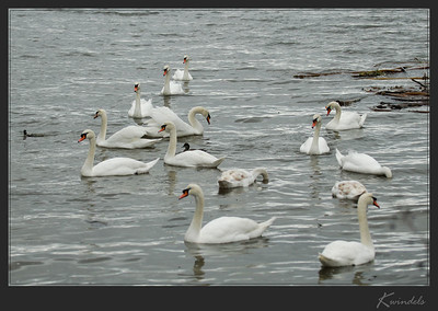 While I didn't get any pictures of the swans on Vancouver Island, we found this small flock of Mute Swans on Salt Spring.