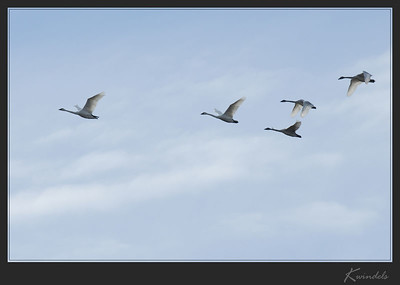 I've gotten so used to seeing Snow Geese this time of year that it took me a second to realize the white birds flying overhead were Trumpeter Swans.