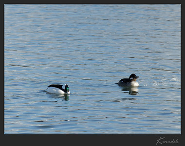 All kinds of folk were out enjoying the sun and this pair of Buffleheads were no exception.