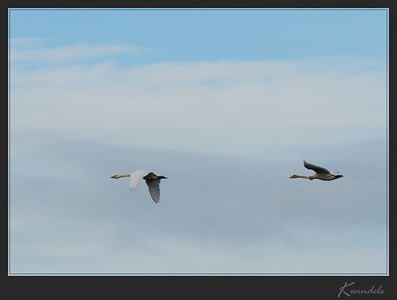 Some more trumpeters fly by.