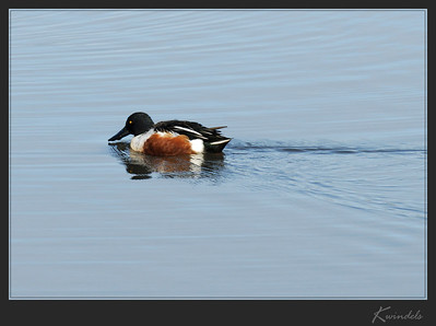Now here's an unusual sight ... a Northern Shoveler with his bill above water.