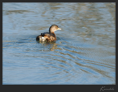 Even the usually shy little grebe hung around a few extra seconds.