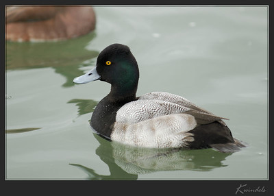 The cloudy weather allowed the green gloss on this Scaup's head show up quite nicely.